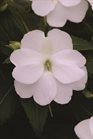 /Images/johnsonnursery/product-images/New_Guinea_Impatiens_Clockwork_White_Bloom_12073_1ifn2jf09.jpg