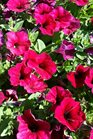 /Images/johnsonnursery/product-images/Petunia Easy Wave Berry Velour5041117_uzgdo94n7.jpg