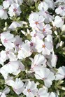 /Images/johnsonnursery/product-images/Phlox Amazing Grace032812_d7923qlmo.jpg