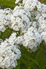 /Images/johnsonnursery/product-images/Phlox Opening Act White_r5tr05hh6.jpg