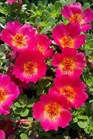 /Images/johnsonnursery/product-images/Portulaca Pazazz Red Flare052711_dbt41gul3.jpg