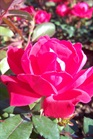 /Images/johnsonnursery/product-images/Rosa Double Knock Out2041508_zoasx3jbn.jpg