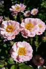 /Images/johnsonnursery/product-images/Rosa Sunrosa Soft Pink2072816_63zkfh0di.jpg