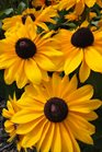 /Images/johnsonnursery/product-images/Rudbeckia TigerEye Gold2071413_c1mzmbhqc.jpg