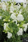 /Images/johnsonnursery/product-images/Salvia White101613_2l97fahxw.jpg