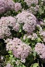 /Images/johnsonnursery/product-images/Sedum Pure Joy2090813_5x8a0wbtp.jpg