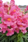 /Images/johnsonnursery/product-images/Snapdragon Sonnet Rose3101813_7mkiz14bj.jpg