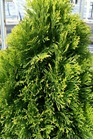 /Images/johnsonnursery/product-images/Thuja Filips Magic Moment_1h1cvnocg.jpg