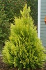 /Images/johnsonnursery/product-images/Thuja Fluffy_epn60jcvs.jpg