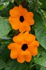 /Images/johnsonnursery/product-images/Thunbergia Sunny Orange Wonder060216_voe567hhs.jpg