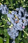 /Images/johnsonnursery/product-images/Vaccinium Reka_ltfer2qmb.jpg