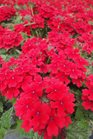 /Images/johnsonnursery/product-images/Verbena Lanai Red2050113_0pox7fpng.jpg