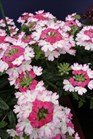 /Images/johnsonnursery/product-images/Verbena Twister Pink2061312_o061qjvwh.jpg