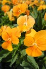 /Images/johnsonnursery/product-images/Viola Sorbet XP Orange2100213_zctotg2uo.jpg