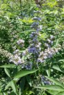 /Images/johnsonnursery/product-images/Vitex Daytona Heat Petty Blue072516_2mhqe60n8.jpg