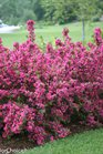 /Images/johnsonnursery/product-images/Weigela Sonic Bloom Pink_0hjeziihs.jpg
