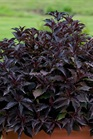 /Images/johnsonnursery/product-images/Weigela Spilled Wine 3_iqo5hvrc7.jpg