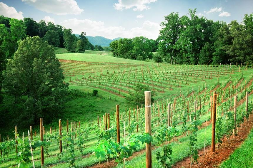 Addison Farms Vineyard - 4