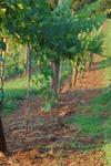 Addison Farms Vineyard - 5